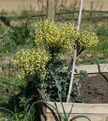 Fleur jaune de brocoli