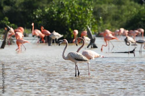 Fototapeta Pink flamingos in their natural habitat