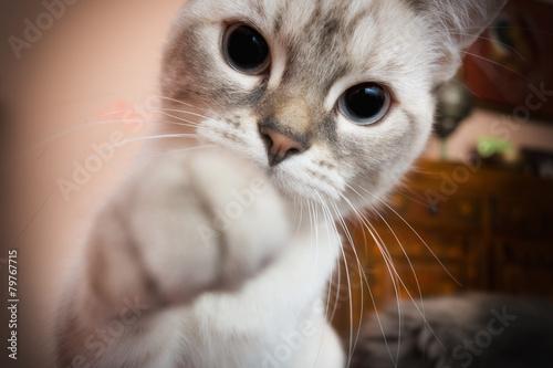 Spoed canvasdoek 2cm dik Kat gatto