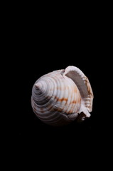 Scallop Shell Isolated