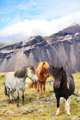Icelandic Horses on Iceland nature landscape