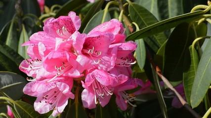 Rosa Rhododendron linke Bildhälfte