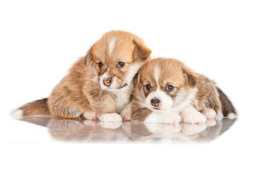 Two pembroke welsh corgi puppies
