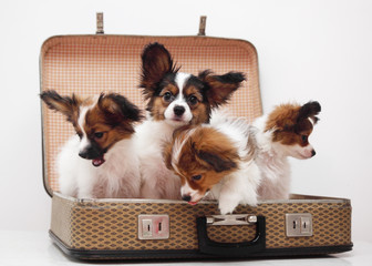 puppies in the suitcase