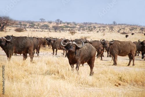 Tuinposter Buffel The African Buffalo - Tanzania - Africa