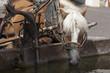 Leinwanddruck Bild - Cavallo all'abbeveratoio