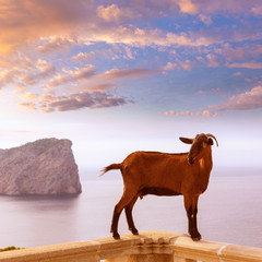 Majorca goat in Formentor Cape Lighthouse