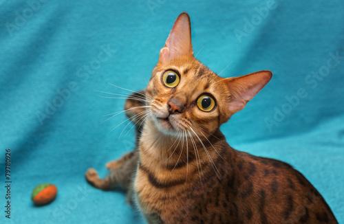 Deurstickers Luipaard cat Bengal