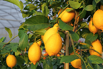 Yellow lemons in the tree of the Orchard of the Mediterranean co