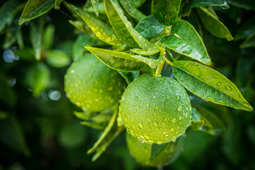fresh green oranges tree