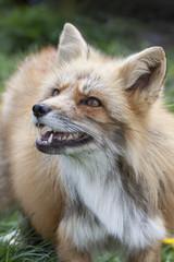 fox in the grass