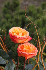 Rosen der Trauer