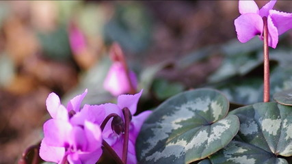 Cyclamen hederifolium in Spring forest.