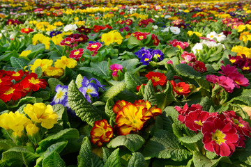 Large selection of colorful primroses