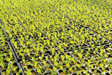 Salad plantation on a farm or nursery