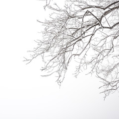 Tree branches with snow in winter