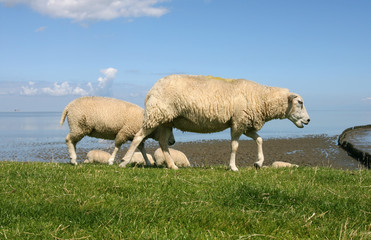 grazing  at the borders of the wadden sea in Friesland(Holland)