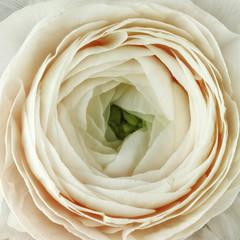 buttercup flower Ranunculus