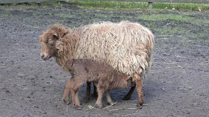 Lamm saugt bei Mutterschaf auf der Weide