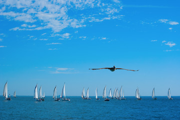 Sailboat race with flying pelican in foreground