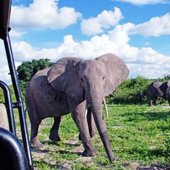gigantic african elephant in wild savanna, National park Chobe,