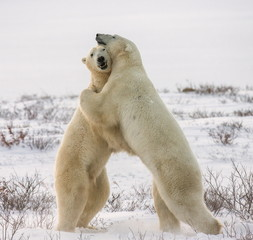 Two white bear hug. An excellent illustration.