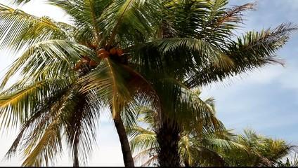 Coconut trees (Cocos nucifera), close-up