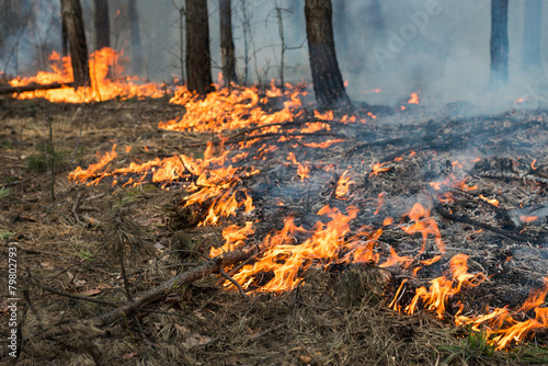 Ground forest fire in pine stand - 79802793