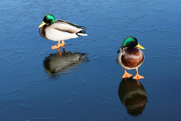 Two male mallards on ice