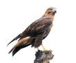 Long-legged buzzard on white - 79805509