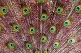 Pfauenfedern Nahaufnahme