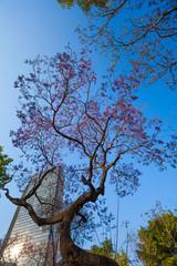 Central Alameda park purple trees and skyscraper