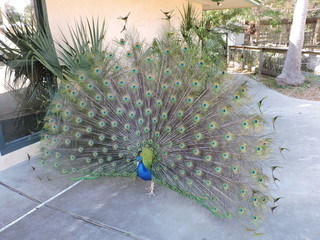 Male peacock strutting his stuff