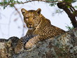 Leopard on the Tree - 79807965