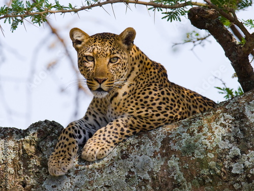 Canvas Luipaard Leopard on the Tree
