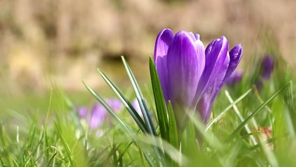 Spring fresh violet Crocus, Luxembourg