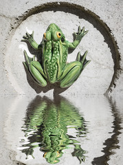 green frog on a wall reflected on water