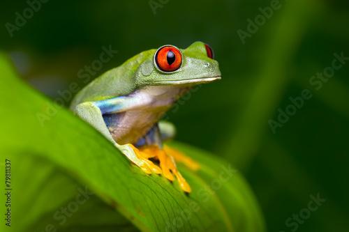 Foto op Canvas Kikker Red-Eyed Amazon Tree Frog