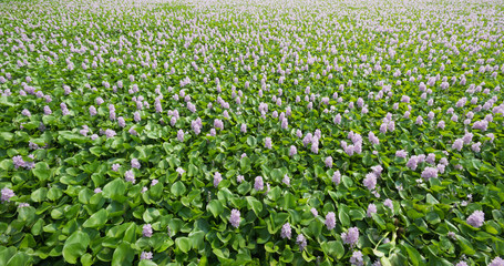 Flower of Water Hyacinth field in Thailand