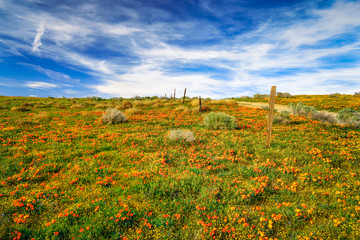 Poppies of Antelope Valley