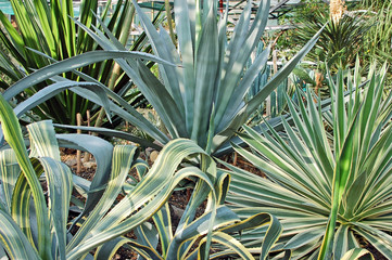 Green succulent plant agave in botanical garden