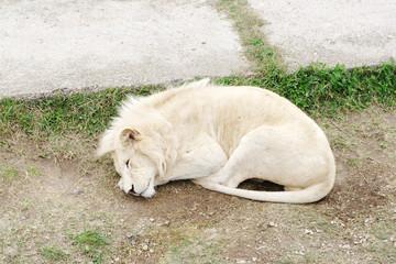 Sleeping white lion, Safari Park Taigan (lions Park), Crimea.