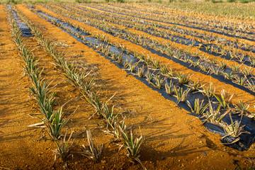 南国のパイナップル畑