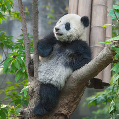 Panda bear sticking out tongue