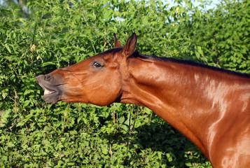 Trakehner horse portrait