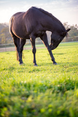 Young black horse