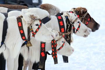 Reindeer in the winter