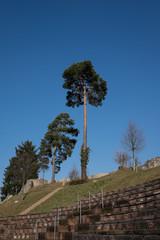 Augusta Raurica Baum
