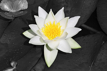 White and Yellow Lilly with Black and White Background