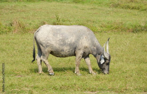 Foto op Aluminium Buffel buffalo feeding in paddle field